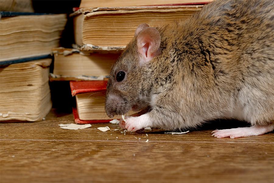 Traas Building Care knaagdierwering ratten knaagschade